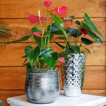 Picture of Anthurium Plant